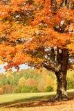 Δέντρο σφενδάμνου φθινοπώρου στοκ εικόνες με δικαίωμα ελεύθερης χρήσης