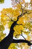 Δέντρο σφενδάμνου φθινοπώρου στοκ φωτογραφίες