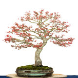 Δέντρο σφενδάμνου ως δέντρο μπονσάι Στοκ Φωτογραφία