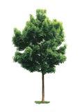 Δέντρο σφενδάμνου. Στοκ Φωτογραφία