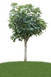Δέντρο σύκων στο λιβάδι Στοκ Εικόνες