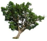 Δέντρο σύκων υπόβαθρο, δέντρο σύκων που απομονώνεται στο άσπρο στο λευκό Στοκ φωτογραφία με δικαίωμα ελεύθερης χρήσης