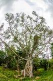 Δέντρο σύκων Στοκ φωτογραφίες με δικαίωμα ελεύθερης χρήσης