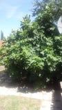 Δέντρο σύκων στοκ εικόνα με δικαίωμα ελεύθερης χρήσης