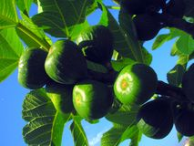 Δέντρο σύκων Στοκ Φωτογραφία