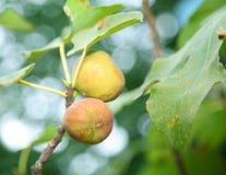 δέντρο σύκων Στοκ Εικόνες