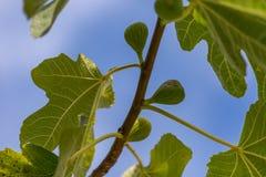 Δέντρο σύκων Στοκ Εικόνα
