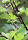 Δέντρο σύκων Cazorla πηγής Borosa στην οροσειρά Ισπανία Στοκ Φωτογραφίες