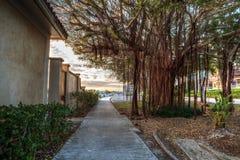 Δέντρο σύκων Strangler κατά μήκος του λιμανιού στη χρυσή ώρα ως σπασίματα ημέρας στοκ εικόνες