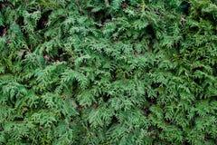 δέντρο σύστασης βελόνων έλατου Στοκ Φωτογραφία