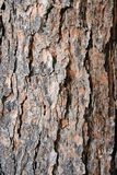 δέντρο σύστασης πεύκων φλ&omi στοκ φωτογραφία με δικαίωμα ελεύθερης χρήσης