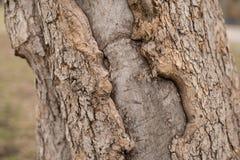 δέντρο σύστασης φλοιών ανασκόπησης Ξεφλουδίστε το φλοιό ενός δέντρου που επισημαίνει το ράγισμα στοκ εικόνες με δικαίωμα ελεύθερης χρήσης