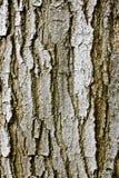 δέντρο σύστασης φλοιών Στοκ Εικόνες