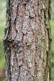 δέντρο σύστασης φλοιών Στοκ Φωτογραφία