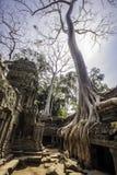 δέντρο της Ασίας Καμπότζη phrom TA angkor wat Στοκ Εικόνες