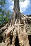δέντρο της Καμπότζης angkor Στοκ Φωτογραφίες