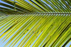 δέντρο της Κούβας Guillermo καρύδων cayo Ουρανός στο υπόβαθρο στοκ φωτογραφία με δικαίωμα ελεύθερης χρήσης