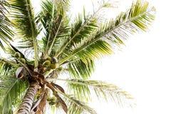δέντρο της Κούβας Guillermo καρύδων cayo Δέντρο καρύδων στο υπόβαθρο ουρανού Στοκ Εικόνες