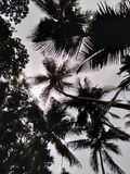 δέντρο της Κούβας Guillermo καρύδων cayo Στοκ εικόνα με δικαίωμα ελεύθερης χρήσης