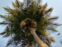 δέντρο της Κούβας Guillermo καρύδων cayo Στοκ Φωτογραφίες