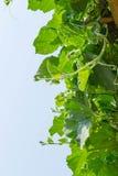Δέντρο της κολοκύθας μπουκαλιών Στοκ εικόνες με δικαίωμα ελεύθερης χρήσης