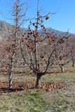 Δέντρο της Ουάσιγκτον Apple Στοκ φωτογραφία με δικαίωμα ελεύθερης χρήσης