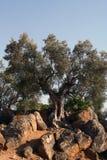 δέντρο της Σικελίας πετρ&e Στοκ Φωτογραφίες