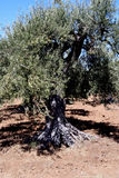 δέντρο της Σικελίας πετρ&e Στοκ φωτογραφία με δικαίωμα ελεύθερης χρήσης