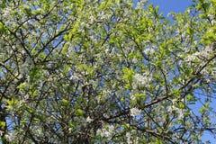 Δέντρο της Apple ένα Στοκ Φωτογραφία