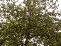 Δέντρο της Apple έξω από το θερινό συννεφιάζω καιρό από κάτω από Στοκ εικόνα με δικαίωμα ελεύθερης χρήσης