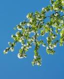 Δέντρο της Apple, ανθίζοντας κλάδος Στοκ εικόνες με δικαίωμα ελεύθερης χρήσης