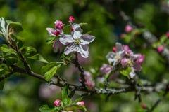 Δέντρο της Apple ανθών σε βοτανικό Gaden Στοκ εικόνες με δικαίωμα ελεύθερης χρήσης
