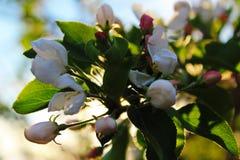 Δέντρο της Apple ανοίξεων φύσης εγκαταστάσεων πετάλων χρώματος λουλουδιών Στοκ Φωτογραφία