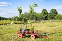 Δέντρο της Apple εγκαταστάσεων σποροφύτων και εγκαταστάσεις Mentha στα δοχεία στον κήπο TR Στοκ Φωτογραφία