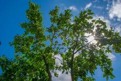 Δέντρο της Apple ενάντια στον ήλιο Στοκ Φωτογραφία