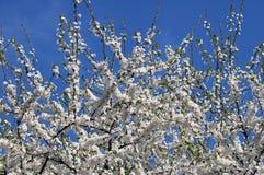 Δέντρο της Apple ενάντια στον ουρανό Στοκ εικόνα με δικαίωμα ελεύθερης χρήσης