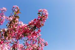 Δέντρο της Apple ενάντια στον ουρανό Στοκ φωτογραφία με δικαίωμα ελεύθερης χρήσης