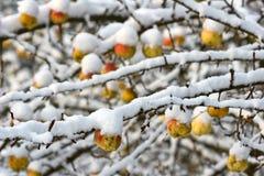Δέντρο της Apple κάτω από το χιόνι Στοκ Εικόνα