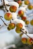 Δέντρο της Apple κάτω από το χιόνι Στοκ Φωτογραφία