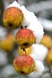 Δέντρο της Apple κάτω από το χιόνι Στοκ Φωτογραφίες