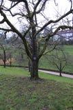 Δέντρο της Apple, κίτρινο Boskop με την πινακίδα το χειμώνα, στο δημόσιο πάρκο baden-Baden ιδιοκτησίας φρούτων Στοκ Φωτογραφία