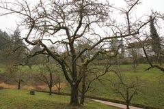 Δέντρο της Apple, κίτρινο Boskop το χειμώνα, στο δημόσιο πάρκο baden-Baden ιδιοκτησίας φρούτων Στοκ φωτογραφία με δικαίωμα ελεύθερης χρήσης