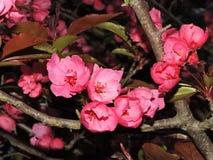 Δέντρο της Apple καβουριών με τα ρόδινα άνθη στην άνοιξη Στοκ Φωτογραφία