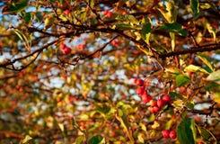 Δέντρο της Apple καβουριών Στοκ Φωτογραφία