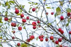 Δέντρο της Apple καβουριών Στοκ φωτογραφία με δικαίωμα ελεύθερης χρήσης