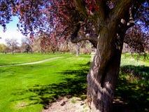 Δέντρο της Apple καβουριών Gnarled Στοκ Εικόνα