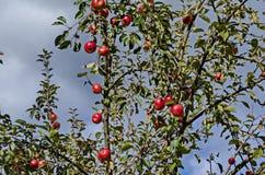 Δέντρο της Apple και κόκκινα φρούτα στον κήπο στο φθινόπωρο, Sofia Στοκ Εικόνες