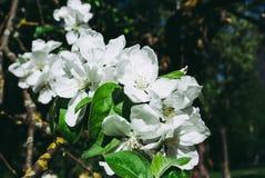 Δέντρο της Apple, κινηματογράφηση σε πρώτο πλάνο Εικόνα του ανθίζοντας δέντρου Στοκ εικόνες με δικαίωμα ελεύθερης χρήσης