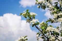Δέντρο της Apple κλάδων με τα λουλούδια άνοιξη στον κήπο Στοκ εικόνα με δικαίωμα ελεύθερης χρήσης