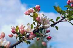 Δέντρο της Apple κλάδων με τα λουλούδια στο υπόβαθρο του μπλε ουρανού Στοκ εικόνες με δικαίωμα ελεύθερης χρήσης